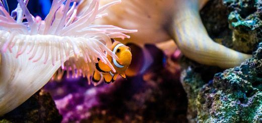 Clown fish in Palma Aquarium in Mallorca