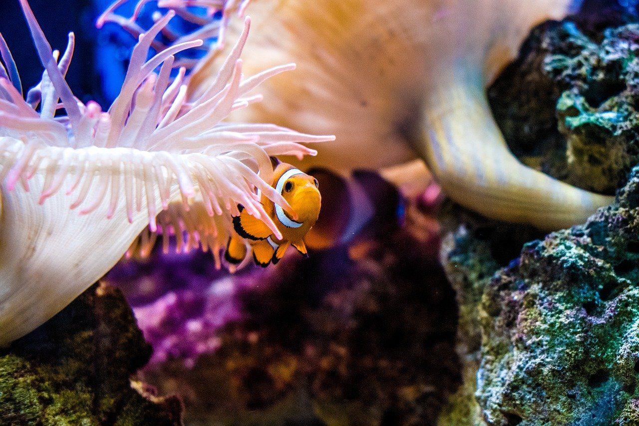 Clown fish in Palma Aquarium in Mallorca