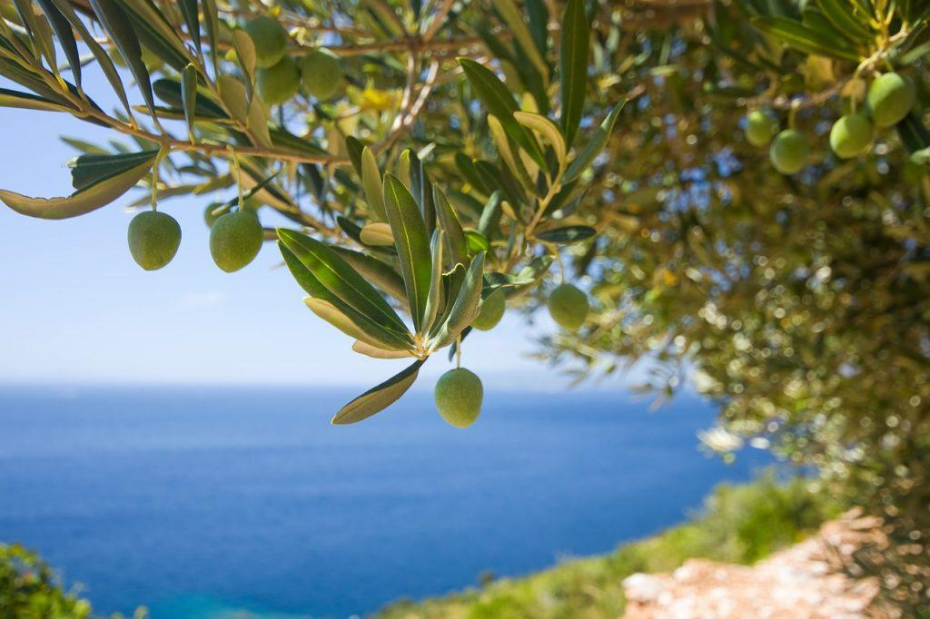 olive tree in calobra